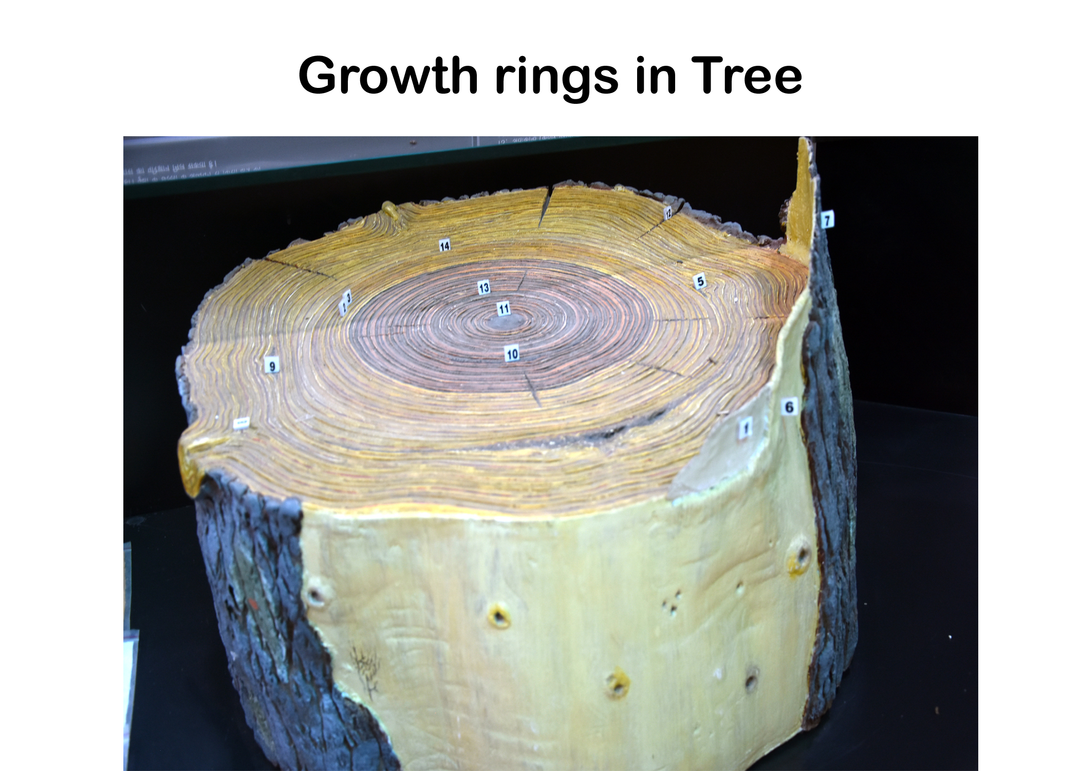 Growth Rings in Tree